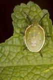 Het gecamoufleerde Insect van het Schild Royalty-vrije Stock Afbeelding