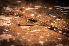 Het geconcentreerde beeld van Ant Black On grond stock afbeelding