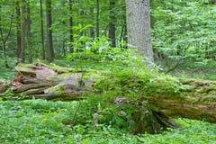 Het gedaalde dode boom liggen Stock Foto