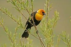 Het geel-geleide mannetje van de Merel Stock Foto's