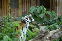 Het gegrom van de tijger royalty-vrije stock afbeeldingen