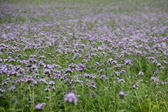 Het gehele gebied van mooie heldere purpere bloemen royalty-vrije stock afbeelding