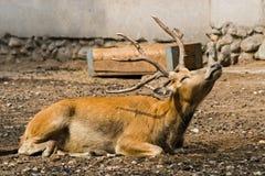 Het gehoornde hert in de dierentuin rust stock afbeeldingen