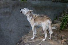 Het gehuil Van Alaska van de toendrawolf royalty-vrije stock foto
