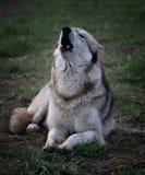 Het gehuil van de wolf Royalty-vrije Stock Afbeeldingen