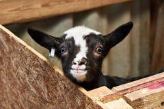 Het geitjonge geitje drijft binnen op landbouwbedrijf bijeen Stock Foto's