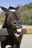 Het Gelach van het paard Stock Foto's