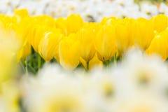 Het gele bed van de tulpenbloem met witte gele narcisvoorgrond in het park royalty-vrije stock foto's