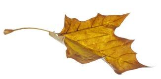 Het gele blad vallen Stock Afbeelding