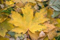 Het gele blad van de de herfstEsdoorn Royalty-vrije Stock Afbeeldingen