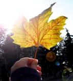 Het gele blad van de de herfstesdoorn met inschrijving ` 1 September ` in meisjes` s hand gloeit in stralen van heldere zon Nieuw Stock Afbeelding