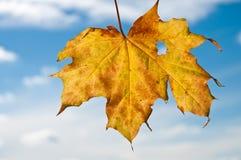 Het gele blad van de esdoornboom in de herfst Stock Foto