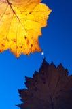 Het gele blad van de herfst met dalingen Stock Fotografie