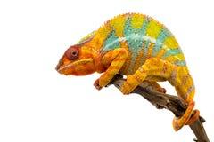 Het gele blauwe die kameleon van de hagedispanter op witte achtergrond wordt geïsoleerd royalty-vrije stock afbeelding