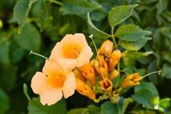 Het gele bloeien Campsis radicans of trompetwijnstok spanje Stock Afbeelding