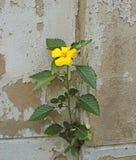 Het gele bloem groeien op barst grunge muur royalty-vrije stock afbeelding