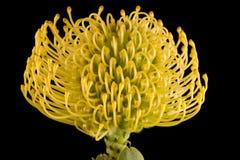 Het gele Centrum van de Close-up van het Speldenkussen Protea Stock Foto's