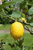 Het gele citroen hangen op een boom Royalty-vrije Stock Foto