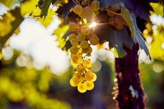 Het gele druif hangen in een wijngaard stock afbeelding