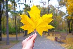 Het gele esdoornblad in dient de herfst in Royalty-vrije Stock Fotografie