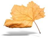 Het gele geïsoleerder verlof van de de herfstboom met schaduw stock afbeeldingen