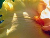 Gele Gebaarde Iris Detail Stock Afbeelding