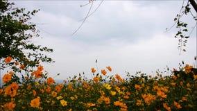 Het gele gebied van de kosmosbloem met hemel in de lente stock video