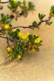 Het gele gebloeide struik groeien in woestijn - Westelijk Australië royalty-vrije stock foto's