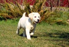 Het gele gelukkige puppy van Labrador in tuin stock foto