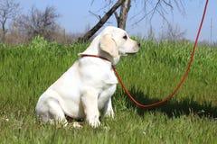 Het gele gelukkige puppy van Labrador in tuin stock afbeelding