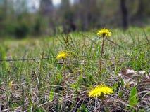 Het gele heldere de bloem van de grasinstallatie groeien op grond stock foto