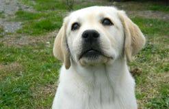 Het gele het puppy van Labrador kijken Stock Fotografie