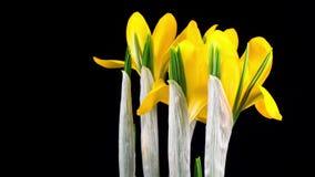 Het gele Krokusbloem Bloeien stock footage