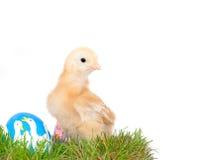 Het gele kuiken van Pasen in gras Royalty-vrije Stock Foto's