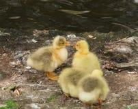Het gele kuikens kussen stock afbeelding