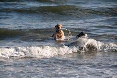 Het gele laboratorium met stuk speelgoed in zijn mond springt door golven bij het strand in Charleston South Carolina Royalty-vrije Stock Afbeeldingen