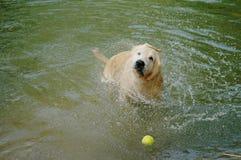 Het gele Labrador zwemmen en het spelen tennisballen in de natuurlijke vijver stock foto