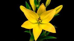 Het gele leliebloem openen stock footage
