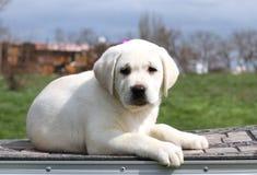 Het gele leuke gelukkige puppy van Labrador in tuin royalty-vrije stock afbeelding