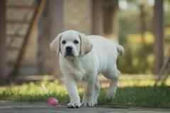 Het gele mannelijke puppy van Labrador Royalty-vrije Stock Foto