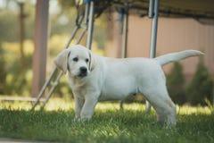 Het gele mannelijke puppy van Labrador Stock Foto's