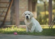 Het gele mannelijke puppy van Labrador Royalty-vrije Stock Fotografie