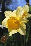 Het gele Gele narcissen Bloeien stock afbeeldingen
