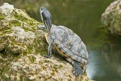 Het gele oor van de schildpad Stock Foto's