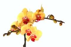Het gele orchideewit isoleerde 1. Stock Foto