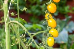 Het gele organische tomaat groeien Stock Foto's