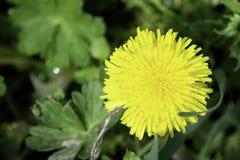 Het gele paardebloembloem groeien onder groen gras in de lente royalty-vrije stock fotografie
