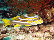 Het gele portret van de Vissen van Sweetlip van het Lint stock fotografie