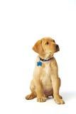 Het gele Puppy van Labrador Royalty-vrije Stock Fotografie