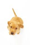 Het gele Puppy van Labrador Stock Fotografie